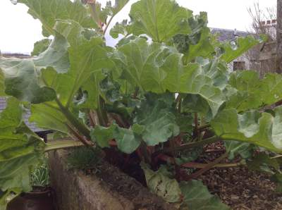 The rhubarb is ready